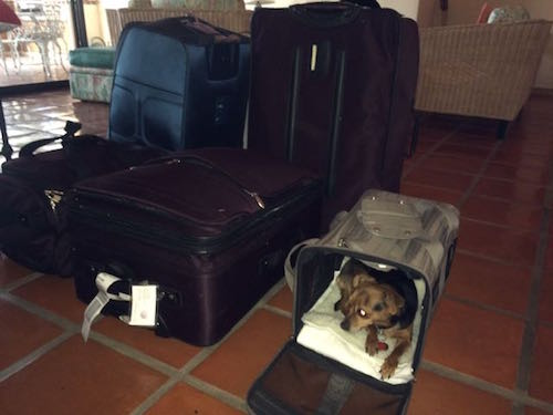 Luggage and Amitu ready to travel on Volaris